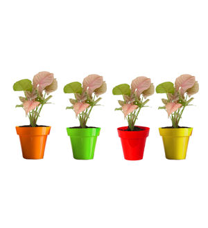 Rolling Nature Combo of Good Luck Syngonium Pink Plant in Small Red, Green, Yellow and Orange Colorista