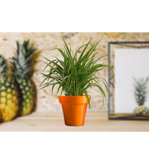 Air Purifying Spider Plant in Small Orange Colorista Pot