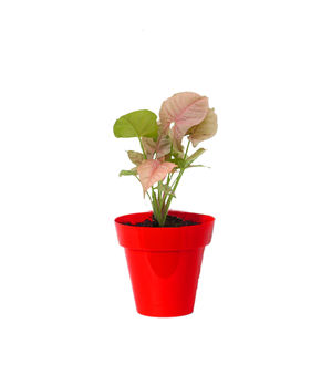 Rolling Nature Good Luck Pink Syngonium Plant in Small Red Colorista Pot