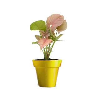 Rolling Nature Good Luck Pink Syngonium Plant in Small Yellow Colorista Pot