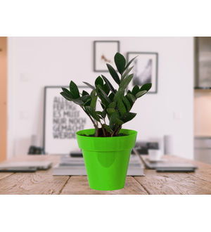 Zamia Plant in Green Colorista Pot