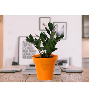 Zamia Plant in Orange Colorista Pot