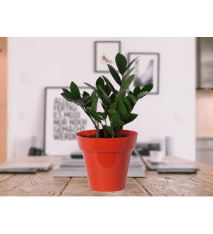 Zamia Plant in Red Colorista Pot