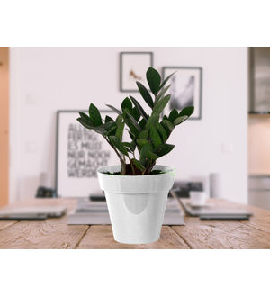Zamia Plant in White Colorista Pot