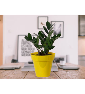 Zamia Plant in Yellow Colorista Pot