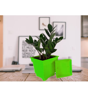 Zamia Plant in Green Square Pot