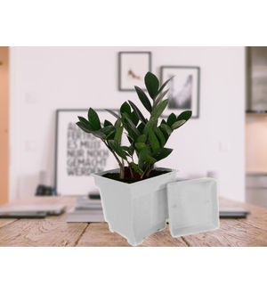 Zamia Plant in White Square Pot