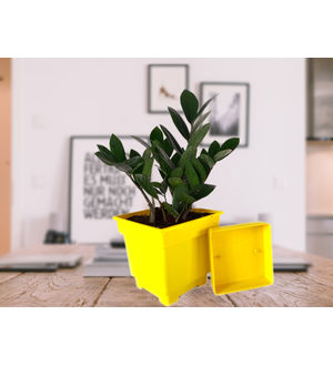 Zamia Plant in Yellow Square Pot