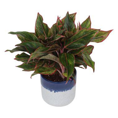 Exotic Green Indoor Plant Red Aglaonema in Pot