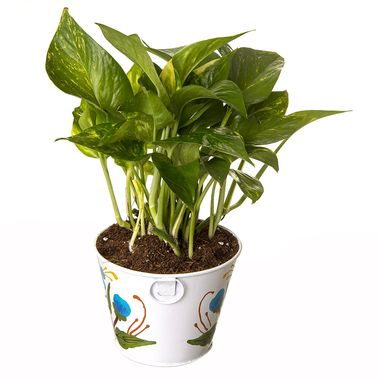 Exotic Green Indoor Money Plant in Pot