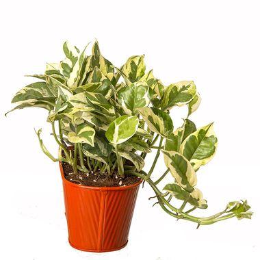 Exotic Green Indoor Plant White Pothos in Pot