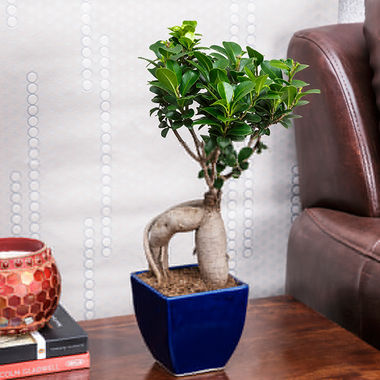 Exotic Green Alluring 3 Year Old Grafted Ficus Bonsai Plant