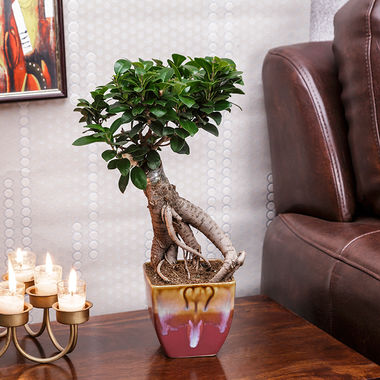 Exotic Green Nice 3 Year Old Grafted Ficus Bonsai Plant