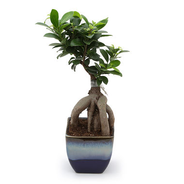 Exotic Green Fabulous 3 Year Old Grafted Ficus Bonsai Plant