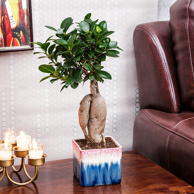 Exotic Green 3 Year Old Grafted Ficus Bonsai Plant