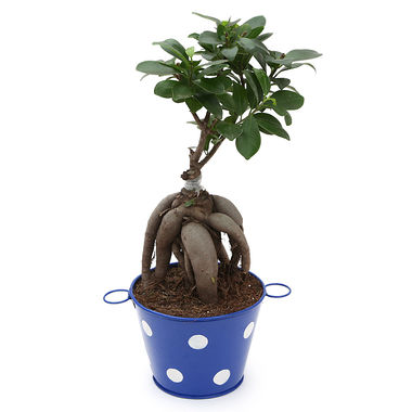 Exotic Green Ficus 3 Year Old Bonsai Plant White & Blue Pot
