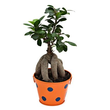 Exotic Green Ficus 3 Year Old Grafted Ficus Bonsai Plant in Pot