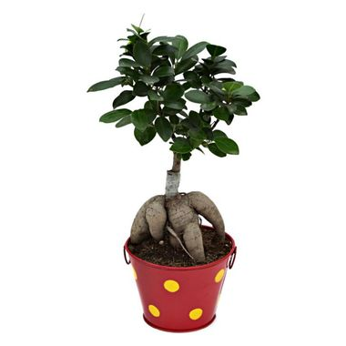 Exotic Green Ficus 3 Year Old Bonsai Plant In Metal Pot Orange Pot