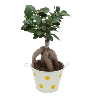 Exotic Green Ficus 3 Year Old Bonsai Plant In Metal Pot Red Pot