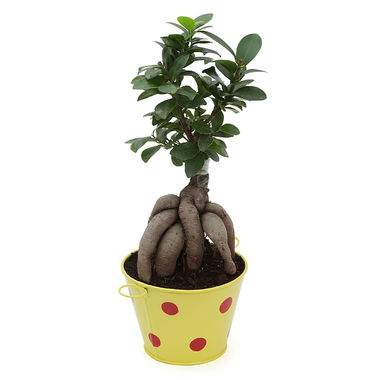 Exotic Green Ficus 3 Year Old Bonsai Plant In Metal Pot White Pot