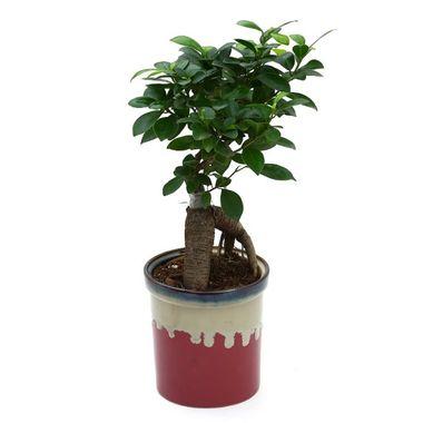 Exotic Green Ficus 3 Year Old Bonsai Plant In Metal Pot Yellow Pot