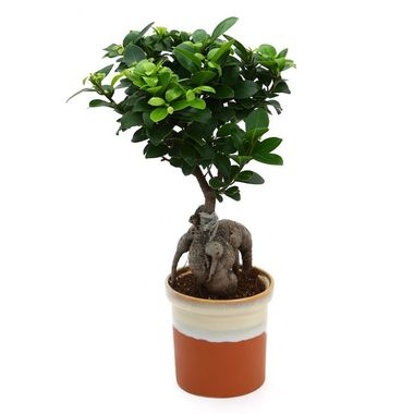 Exotic Green Pretty Ficus 4 Year Old Bonsai Plant English Purple Pot