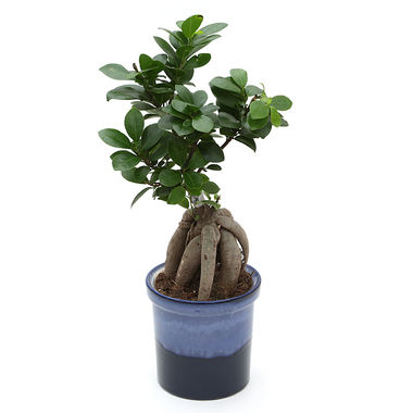 Exotic Green Premium Ficus 4 Year Old Bonsai Plant My Orange Pot