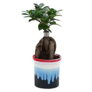 Exotic Green Ficus 4 Year Old Nice Bonsai Plant Ocean Blue Pot