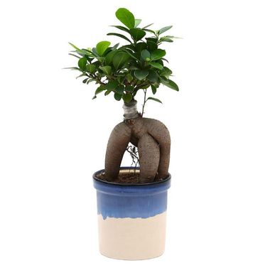 Exotic Green Exclusive Ficus 4 Year Old Bonsai Plant Rainbow Black Pot