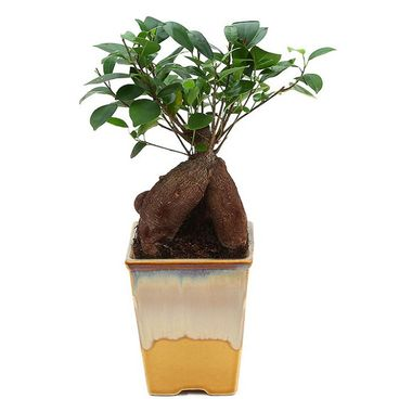 Exotic Green Nice Ficus 4 Year Old Bonsai Plant White & Blue Pot