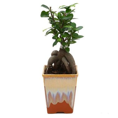 Exotic Green Ficus 4 Year Old Bonsai Plant English Purple Pot