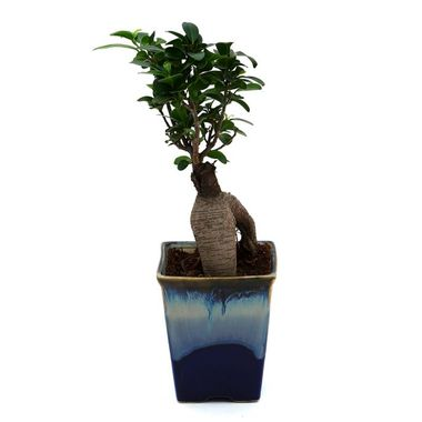 Exotic Green Ficus 4 Year Old Exclusive Bonsai Plant My Orange Pot