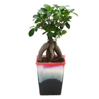 Exotic Green Ficus 4 Year Old Bonsai Plant Ocean Blue Pot