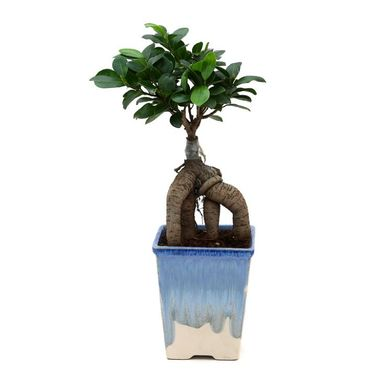 Exotic Green Ficus 4 Year Old Bonsai Plant Rainbow Black Pot