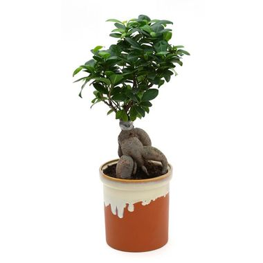 Exotic Green Grafted Ficus 6 Year Old Bonsai Plant English Purple Pot