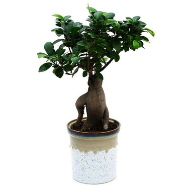 Exotic Green Grafted Ficus 6 Year Old Bonsai Plant German Brown Pot