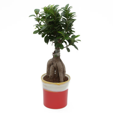 Exotic Green Grafted Ficus 6 Year Old Bonsai Plant Marble Brown Pot