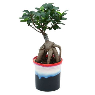 Exotic Green Grafted Ficus 6 Year Old Bonsai Plant My Orange Pot