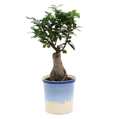 Exotic Green Grafted Ficus 6 Year Old Bonsai Plant Rainbow Black Pot