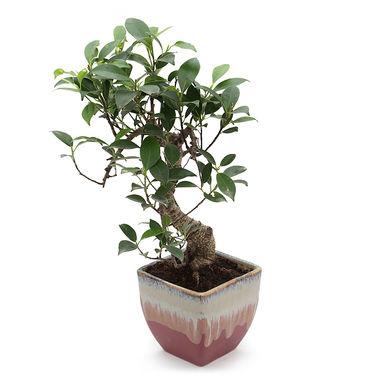 Exotic Green S Shape Ficus 3 Year Bonsai Plant Blue Pot