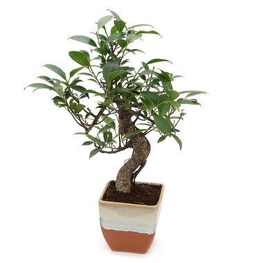 Exotic Green S Shape Ficus 3 Year Bonsai Plant English Purple Pot
