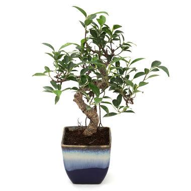 Exotic Green S Shape Ficus 3 Year Bonsai Plant German Brown Pot