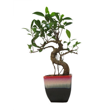 Exotic Green S Shape Ficus 3 Year Bonsai Plant