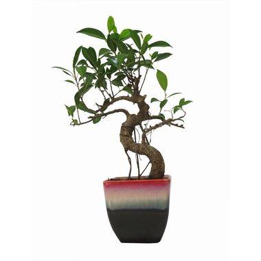 Exotic Green S Shape Ficus 3 Year Bonsai Plant Ocean Blue Pot