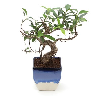 Exotic Green S Shape Ficus 3 Year Bonsai Plant Rainbow Black Pot