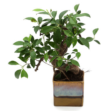 Exotic Green S Shape Ficus 3 Year Bonsai Plant White & Blue Pot