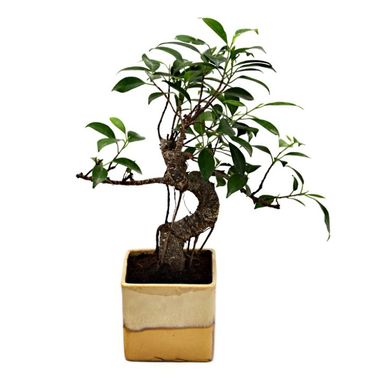 Exotic Green S Shape Ficus 3 Year Bonsai Plant Choco Brown Pot