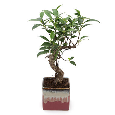 Exotic Green S Shape Ficus 3 Year Bonsai Plant Cream & Cookie Pot