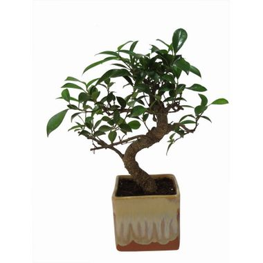 "Exotic Green Alluring 3 Year Old ""S"" Shape Ficus Bonsai Plant"