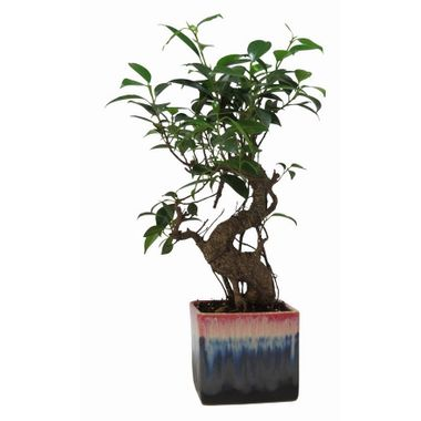 Exotic Green Nice S Shape Ficus 3 Year Bonsai Plant German Brown Pot